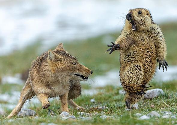 знимка Юнцін Бао, лауреата Wildlife Photographer of the Year (2019)